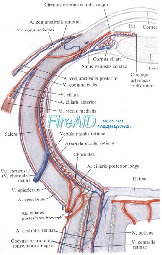 Сетчатка, сетчатая оболочка, retina.