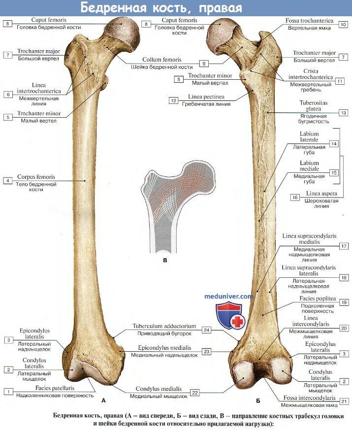 Большой вертел бедренной кости