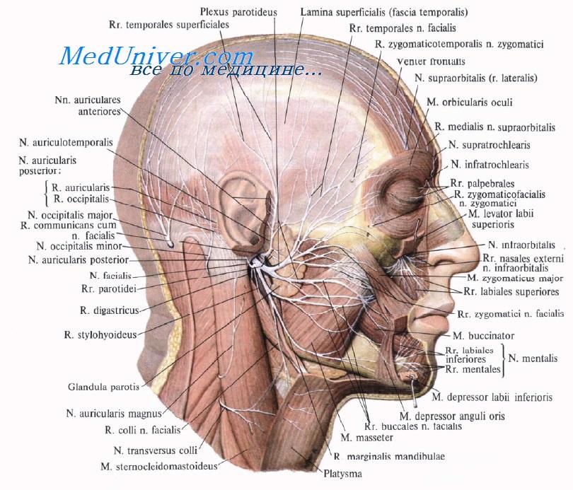 Нерв слуховой фото
