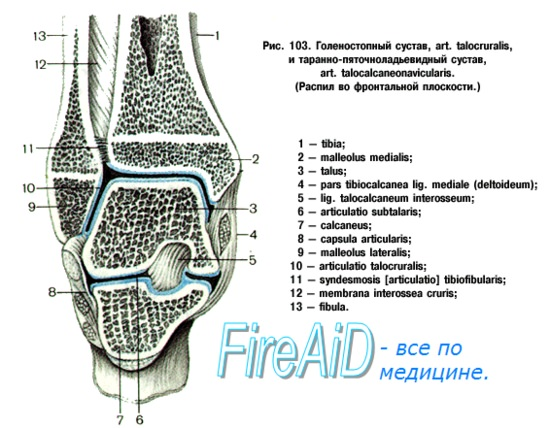Анатомия голеностопного сустава и его связок