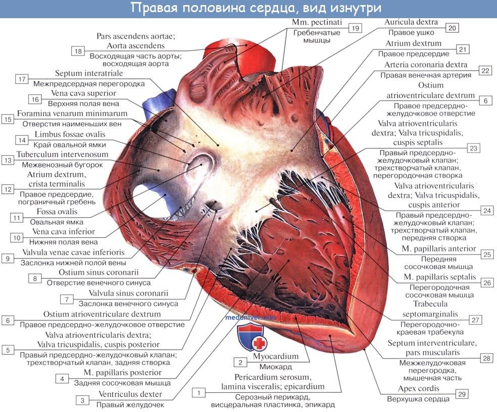 Не работает левый желудочек сердца насколько опасно лечение