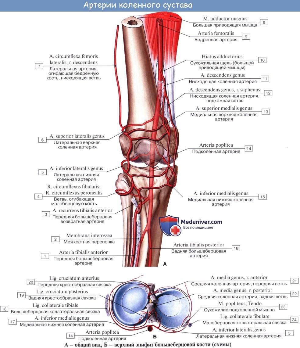 Анатомия: Кровоснабжение коленного сустава