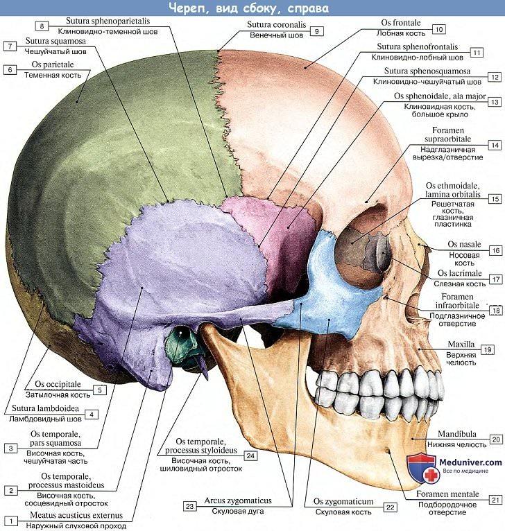 Анатомия: Скелет головы. Череп, вид сбоку справа