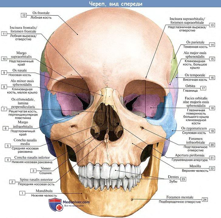 строение черепа человека фото с описанием примеру