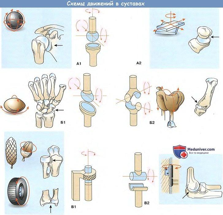 Изображение - Классификация суставов по форме суставных поверхностей dvigenia_v_sustavax-a