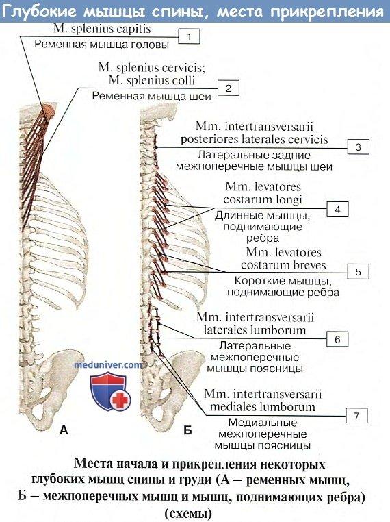 Анатомия: Глубокие мышцы спины