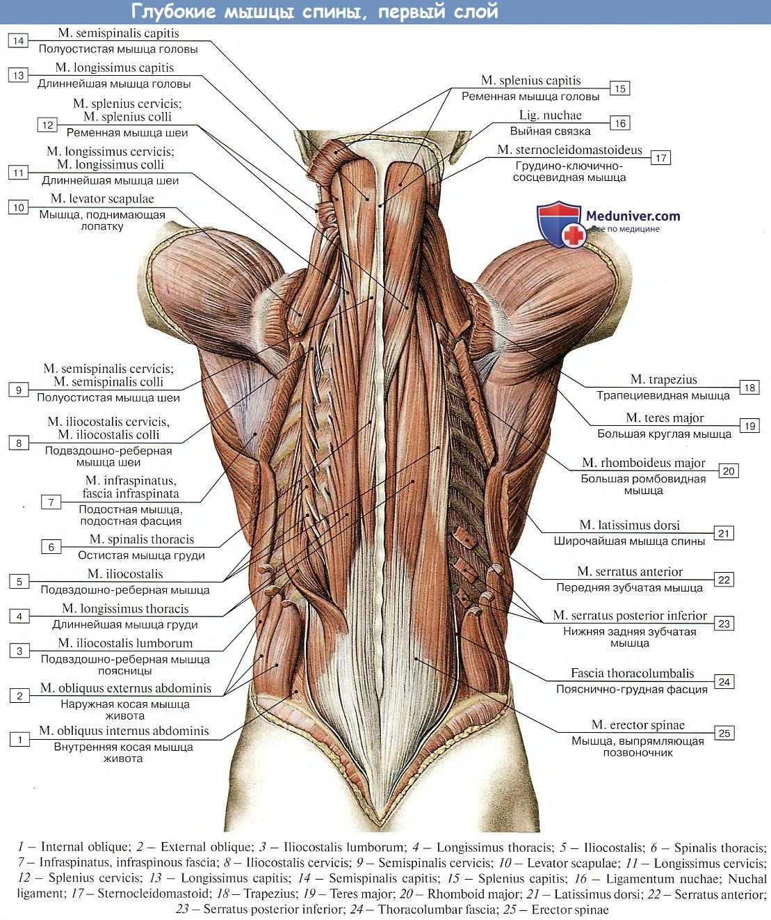 Мышцы спины глубокие анатомия картинки