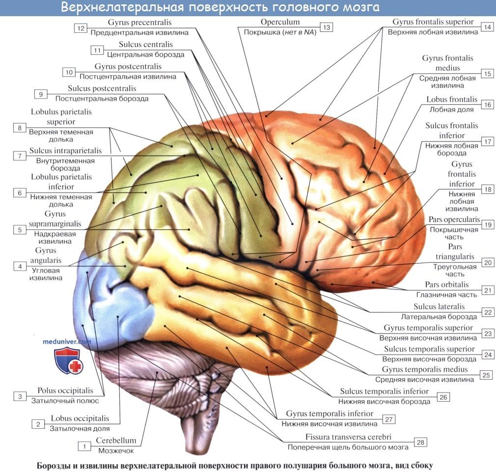 Анатомия: Головной мозг, encephalon. Обзор головного мозга. Верхнелатеральная поверхность головного мозга