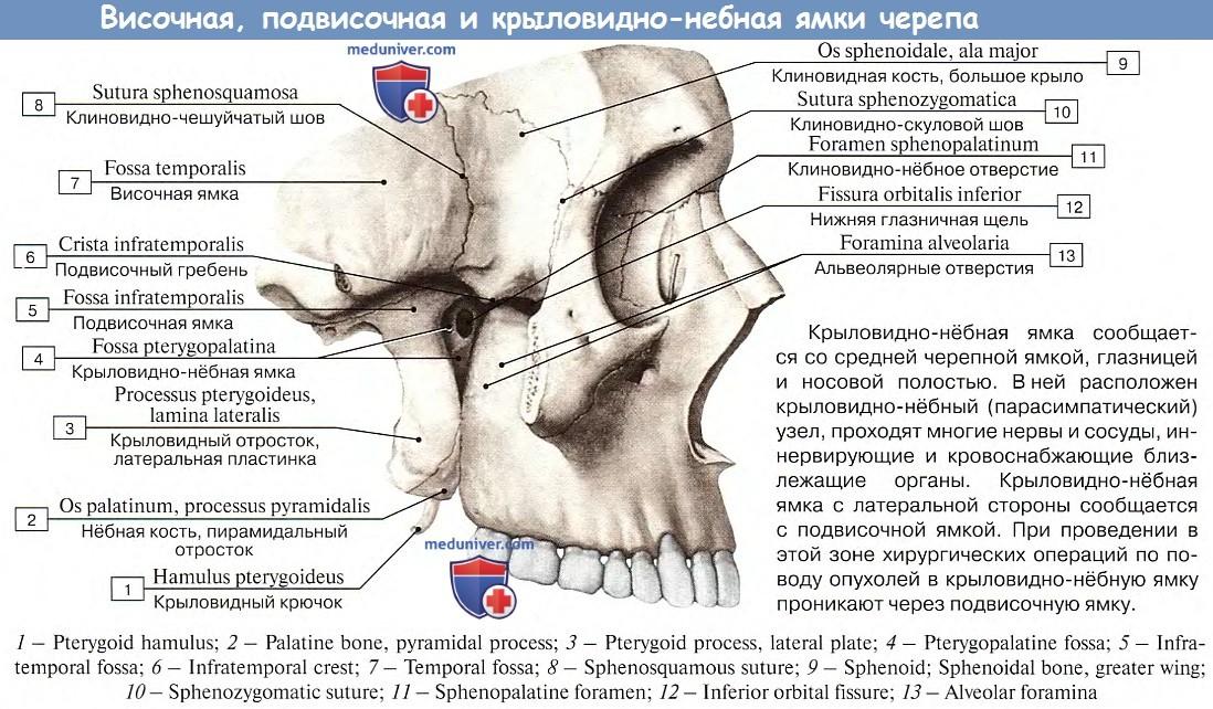 Анатомия: Височная, подвисочная, крыловидно-небная ямки черепа