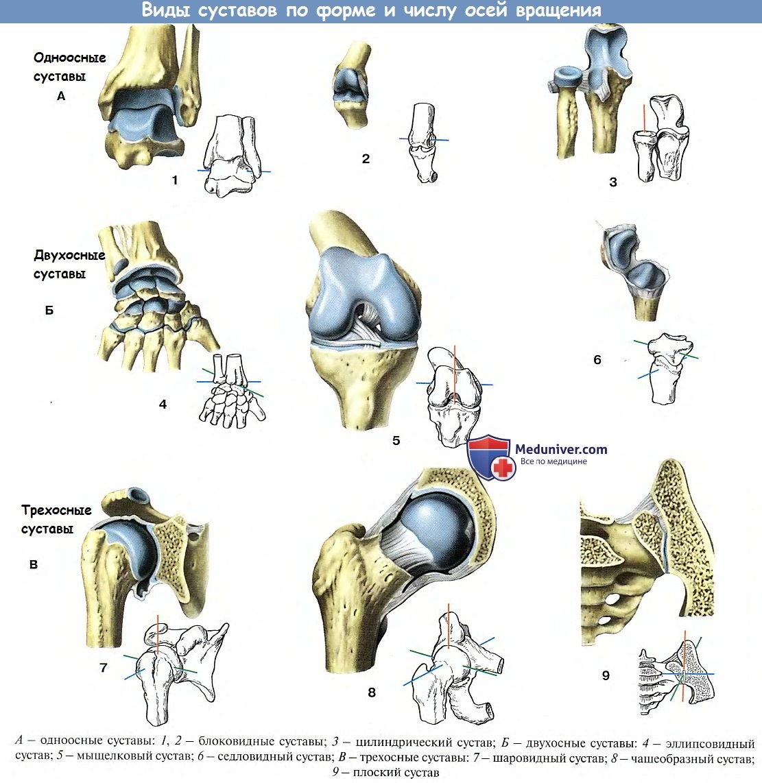 Анатомия виды суставов по количеству осей лечение коленного сустава.клиники