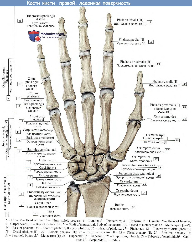 Какие кости участвуют в образовании сустава гооховидной кости бандаж ортез на тазобедренный сустав
