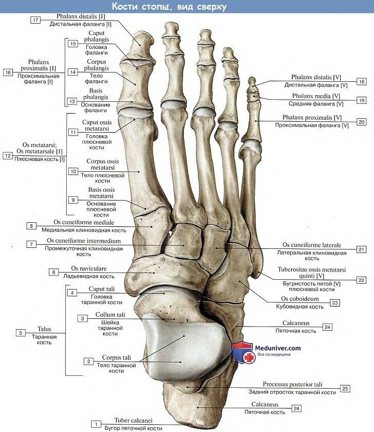 Что такое таранная кость