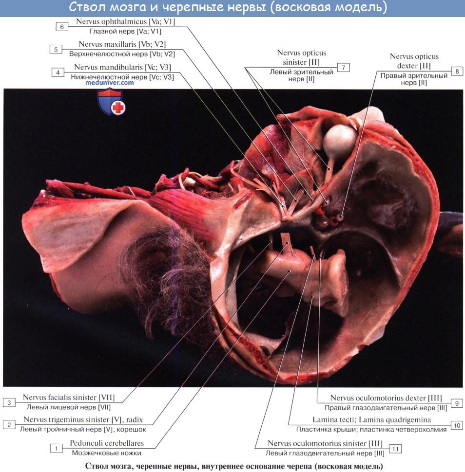 Анатомия: Черепные нервы, nn. craniales (encephalici)