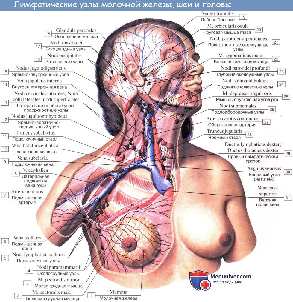 Анатомия: Лимфатические узлы и сосуды грудной клетки