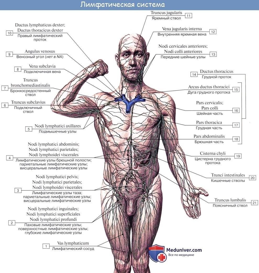 Анатомия: Лимфатическая система, systema lymphaticum. Функция, строение лимфатической системы