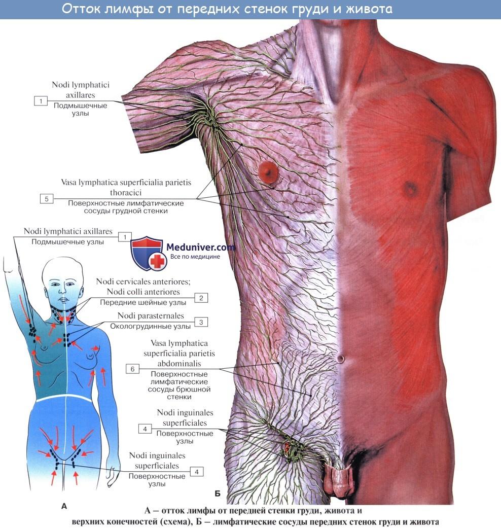 Лимфатические узлы и сосуды брюшной полости (живота). Топография, строение, расположение лимфатических узлов и сосудов брюшной полости (живота)