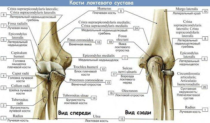 Анатомия: Кости локтевого сустава