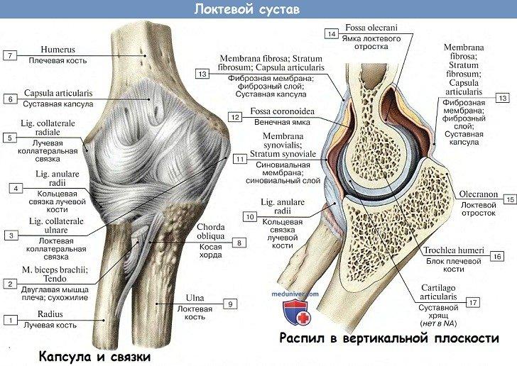 Анатомия: Локтевой сустав