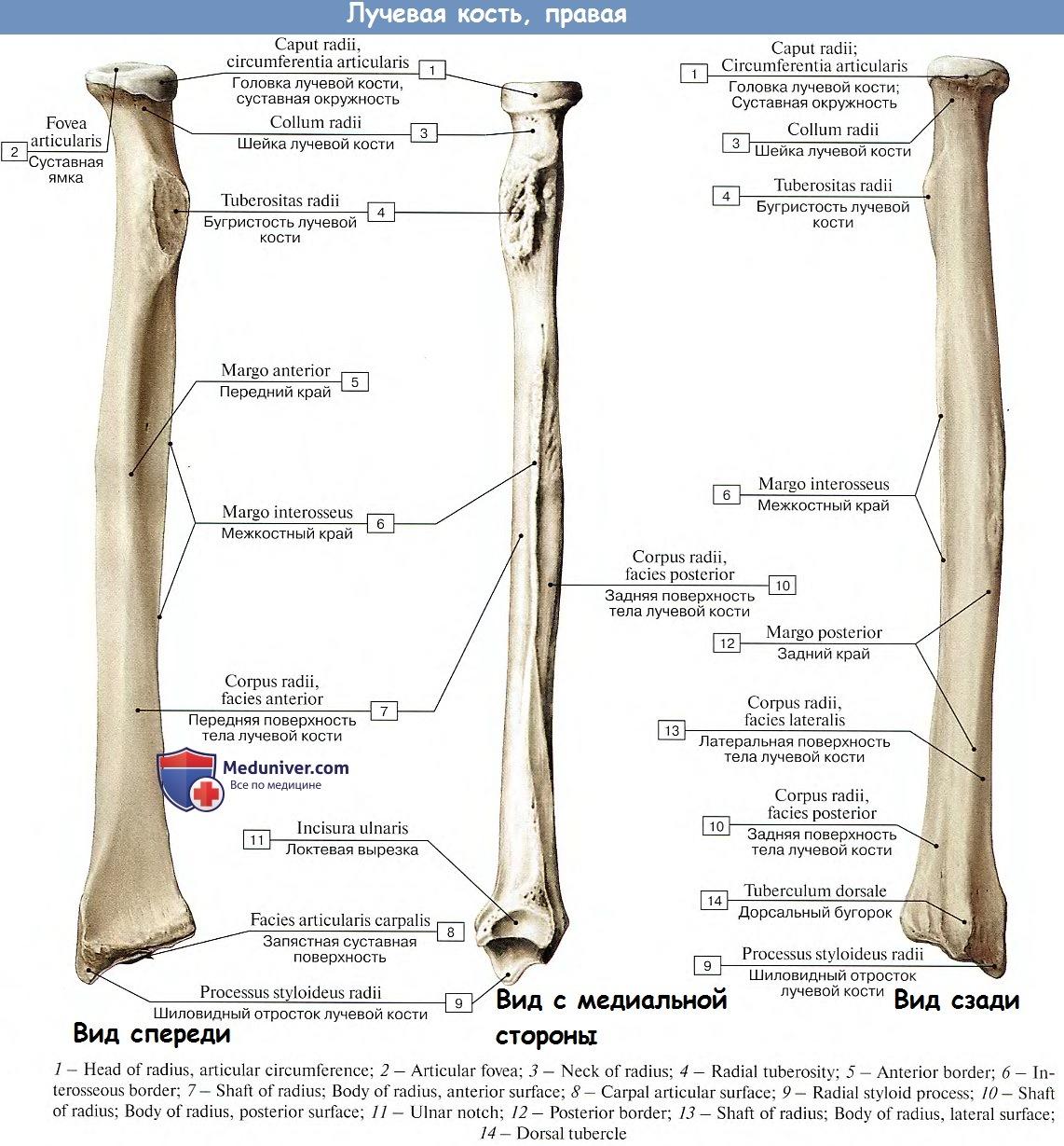 Суставные поверхности локтевая кость почему болит нога под коленом сзади