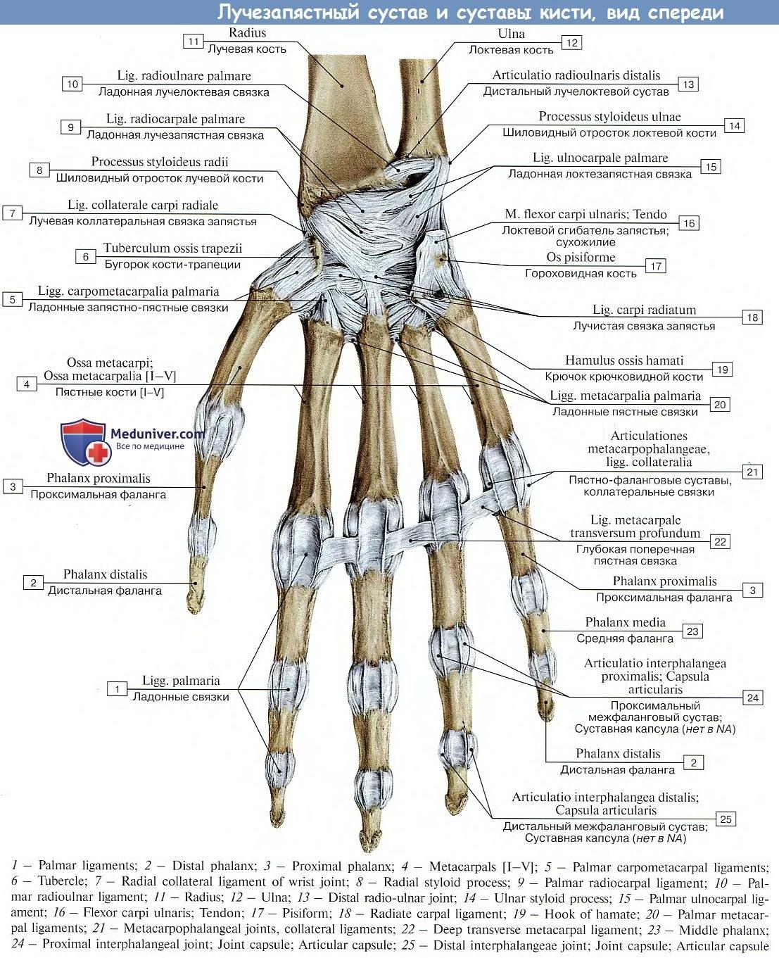 Межпястные суставы анатомия как принимать комплекс бад для суставо