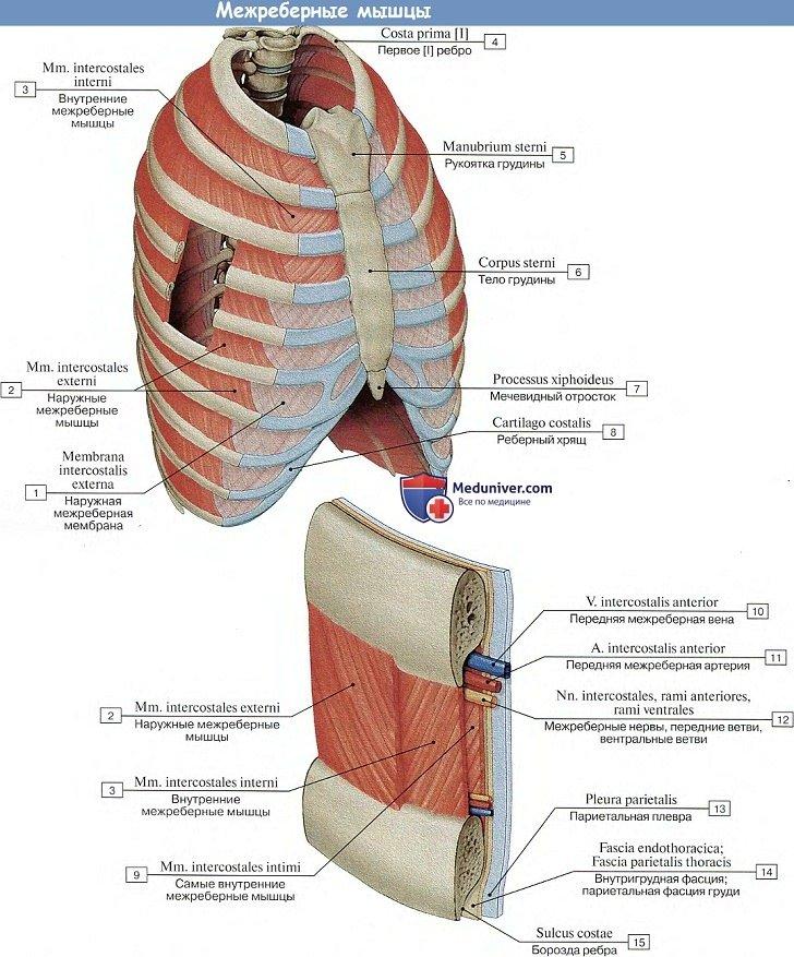 Анатомия: Межреберные мышцы