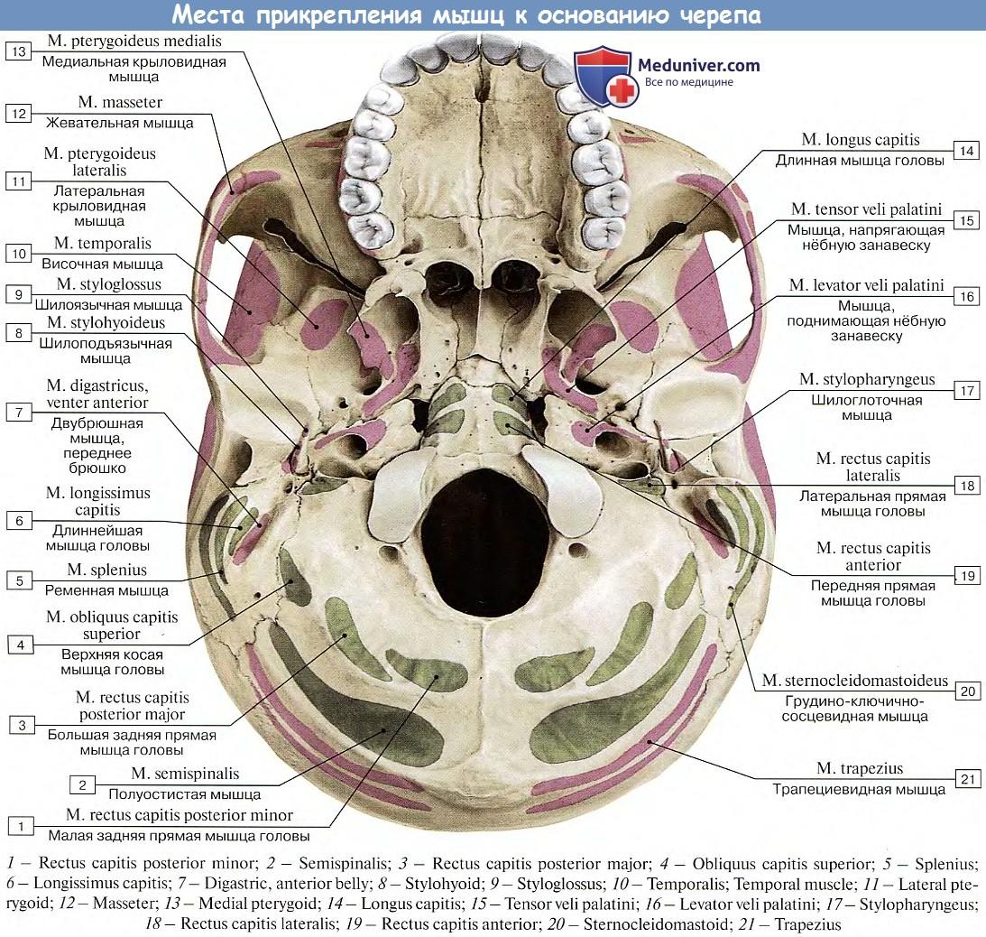 череп в картинках на латыни можно использовать качестве