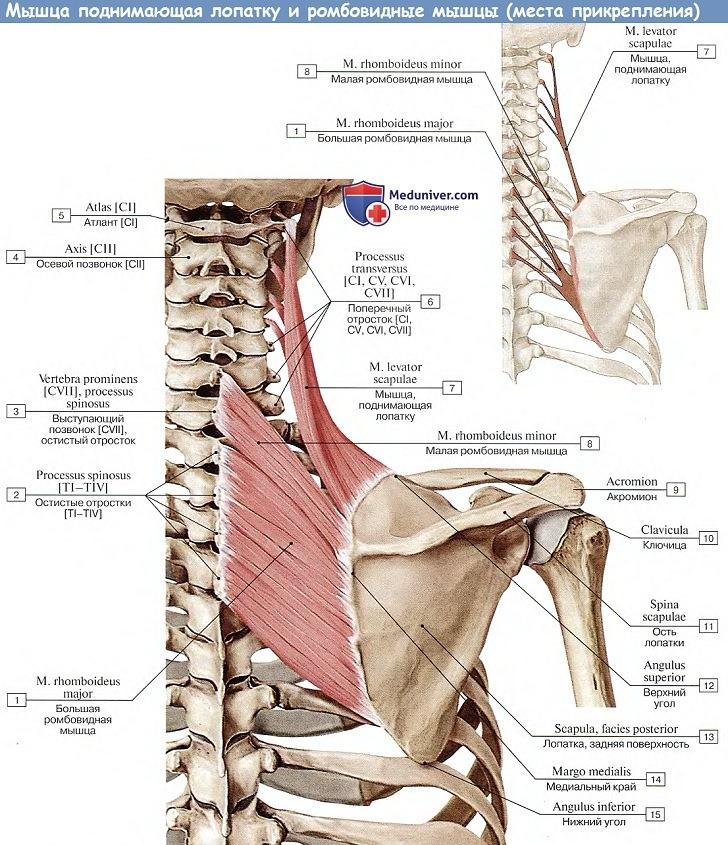 Анатомия: Мышцы поднимающей лопатку, m.levator scapulae и ромбовидной мышцы, m.rhomboideus