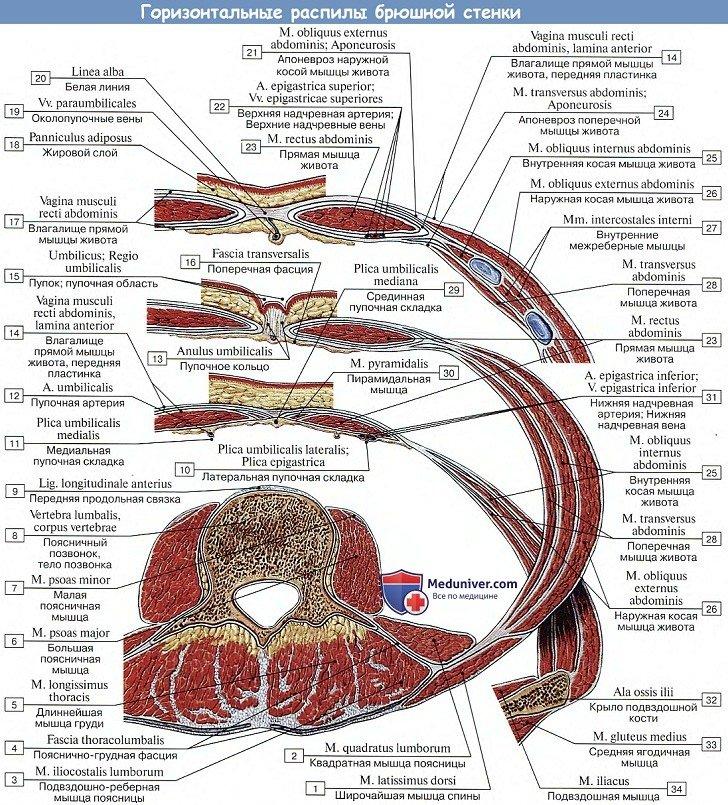 Анатомия: Мышцы живота, горизонтальный распил