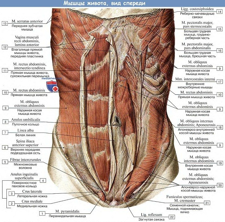 Анатомия: Мышцы живота, вид спереди