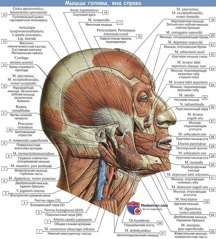 Какие мышцы приводят в движение кожу лица мимические thumbnail