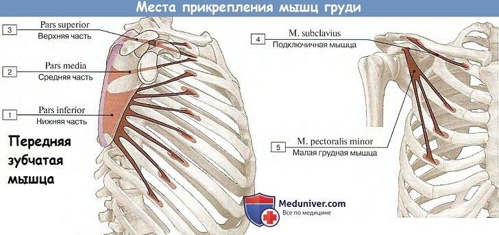 Анатомия: Места прикрепления мышц груди