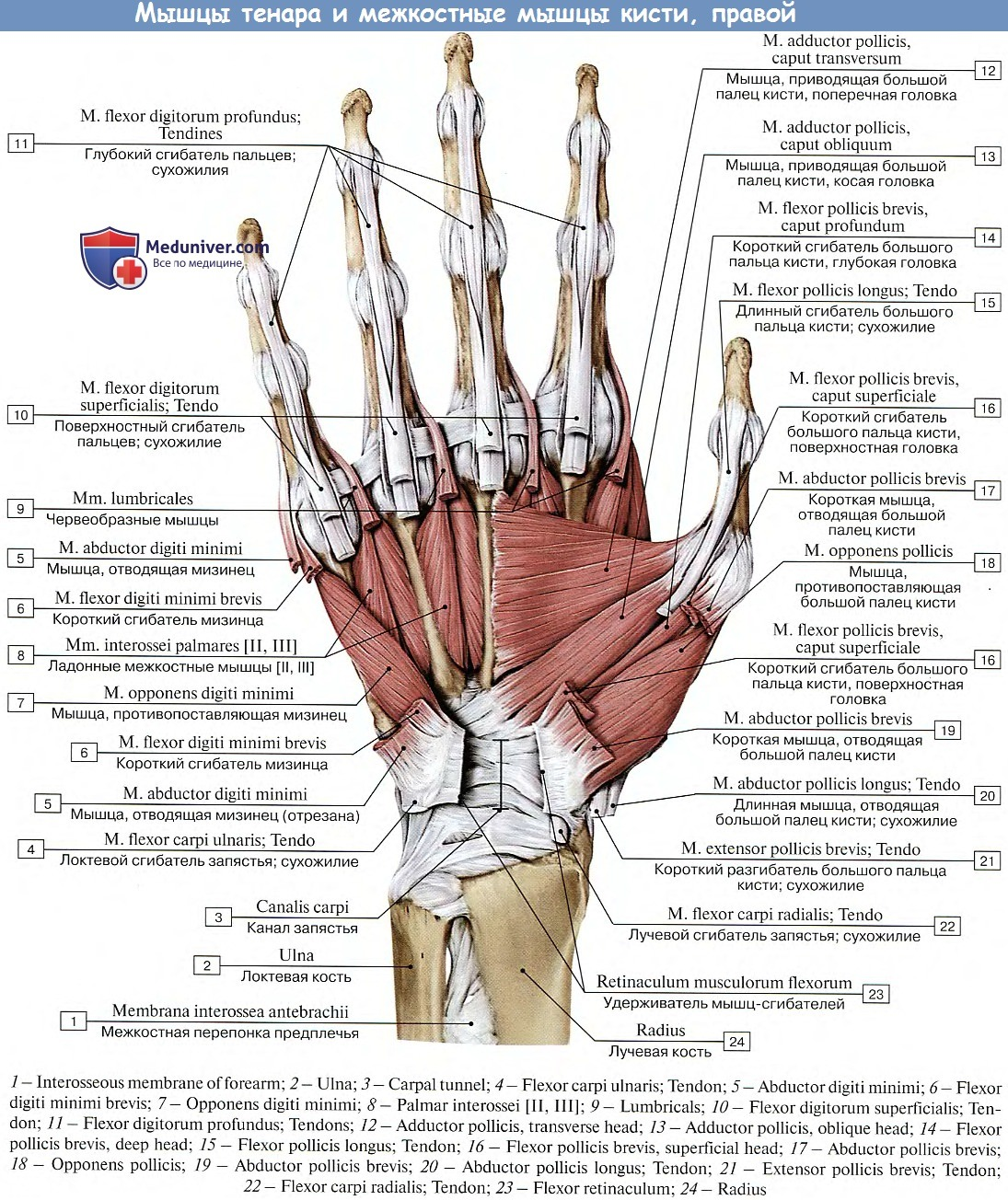 Функциональный сустав кисти.мышцы действующие на него трудность в движении суставов