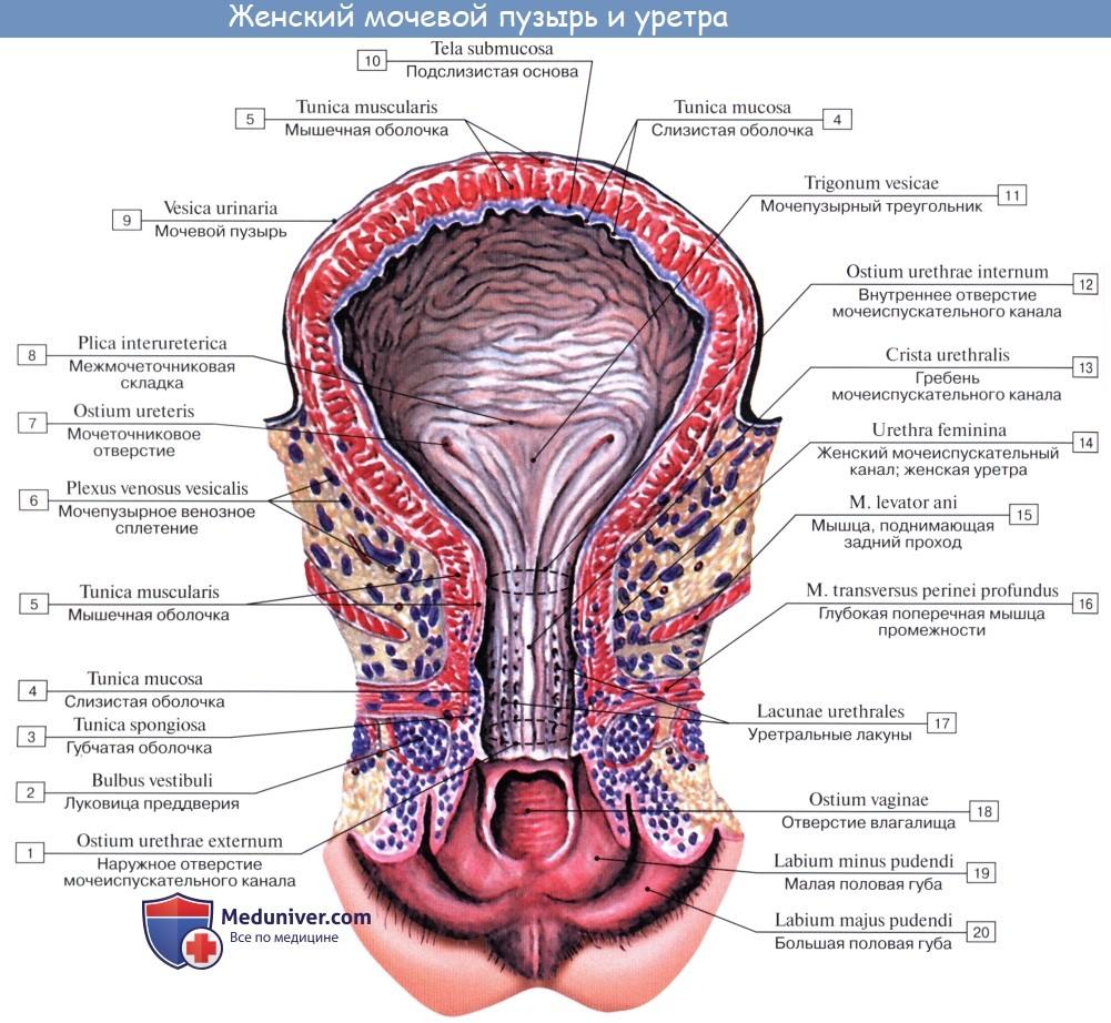 Анатомия: Мочевой пузырь. Стенки мочевого пузыря