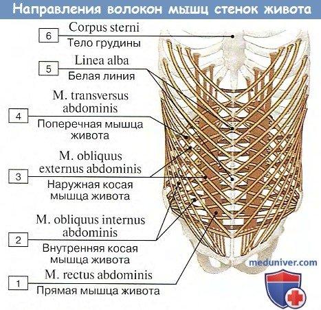 Направления волокон мышц стенок живота