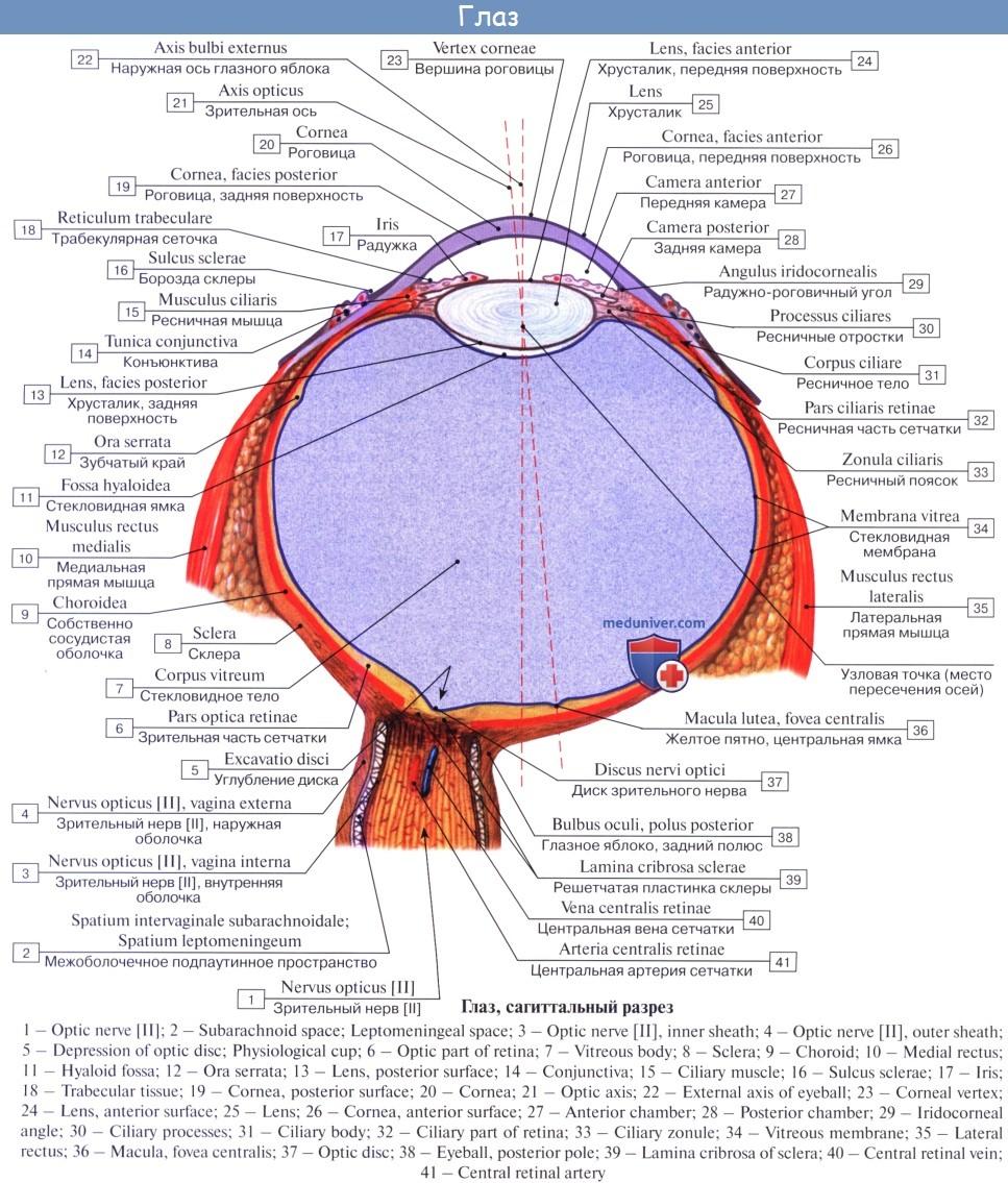 Анатомия: Орган зрения, organum visus. Глаз. Глаза