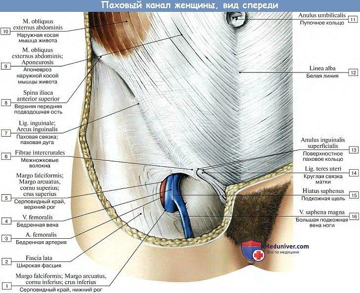 Анатомия: Паховый канал женщины, вид спереди
