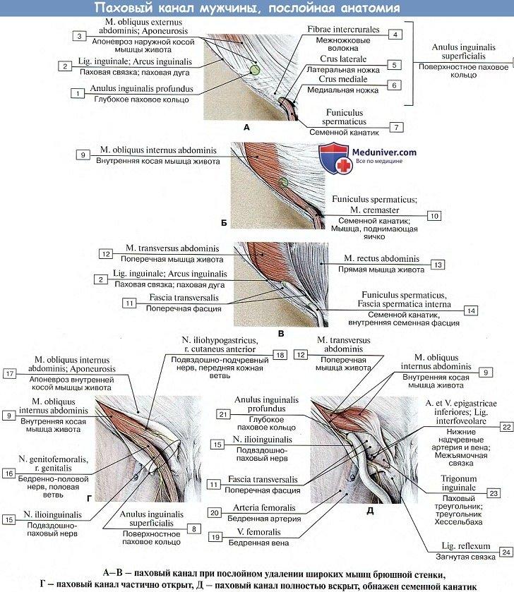 Анатомия: Паховый канал мужчины, послойная анатомия