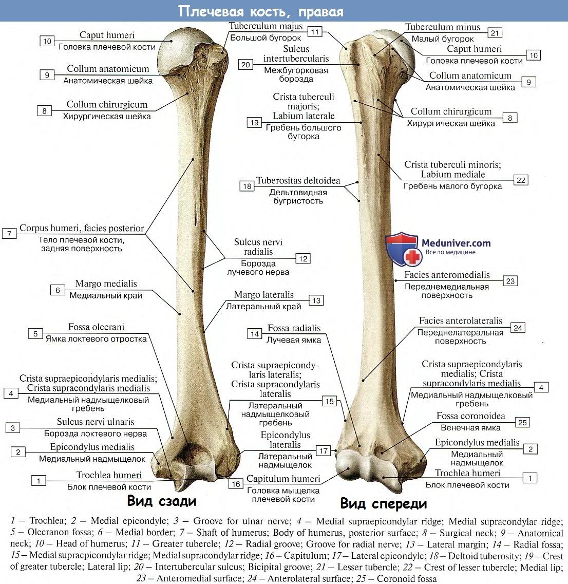 Плечевая кость все