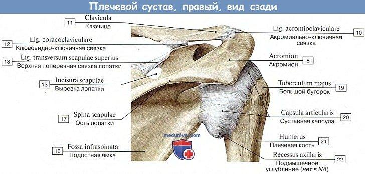 Анатомия: Плечевой сустав, вид сзади