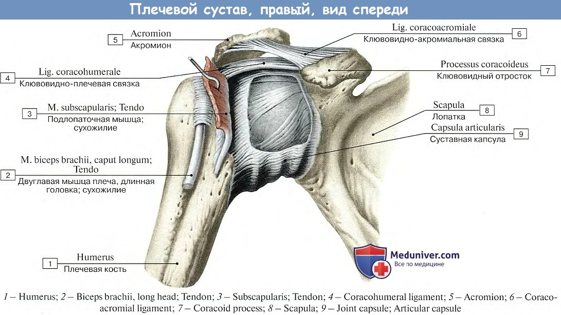 Сколько осей вращения имеет плечевой сустав боль в коленном суставе после травмы