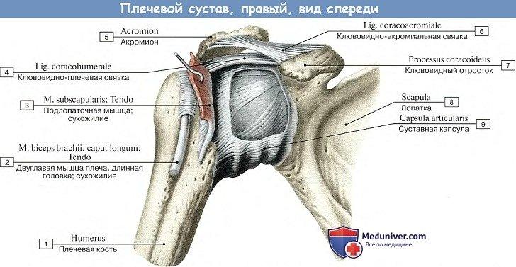 Анатомия: Плечевой сустав, вид спереди