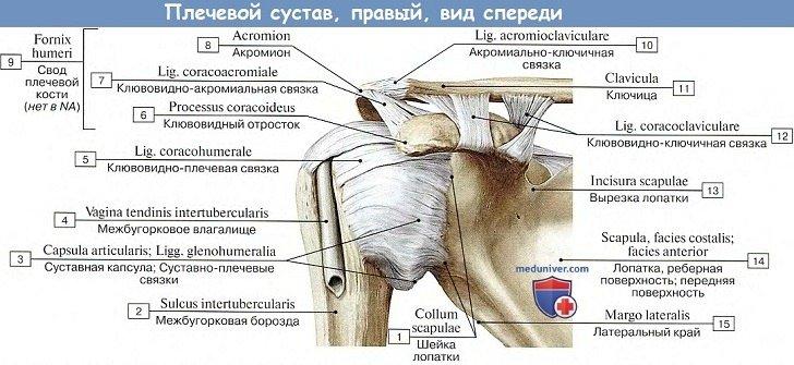 Плечевой сустав человека образован thumbnail