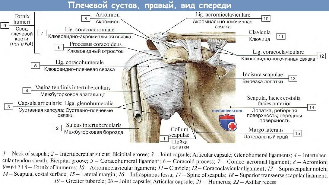 Суставные поверхности плечевого сустава имеют форму ортопедические протезы тазобедренного сустава