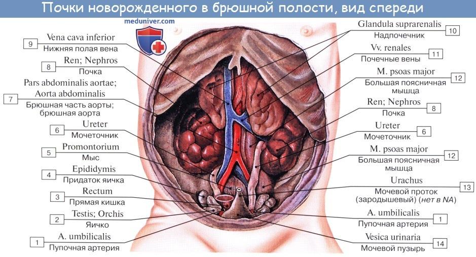 Анатомия: Топография почек. Оболочки почки. Фиксация почки