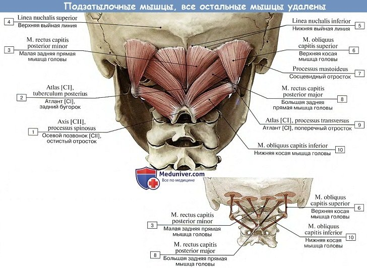 Глубокие мышцы спины на латинском thumbnail
