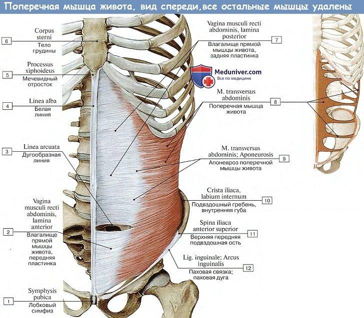 Анатомия: Поперечная мышца живота