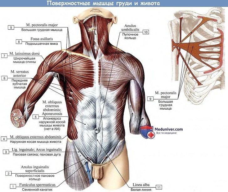 Анатомия: Поверхностные мышцы груди и живота