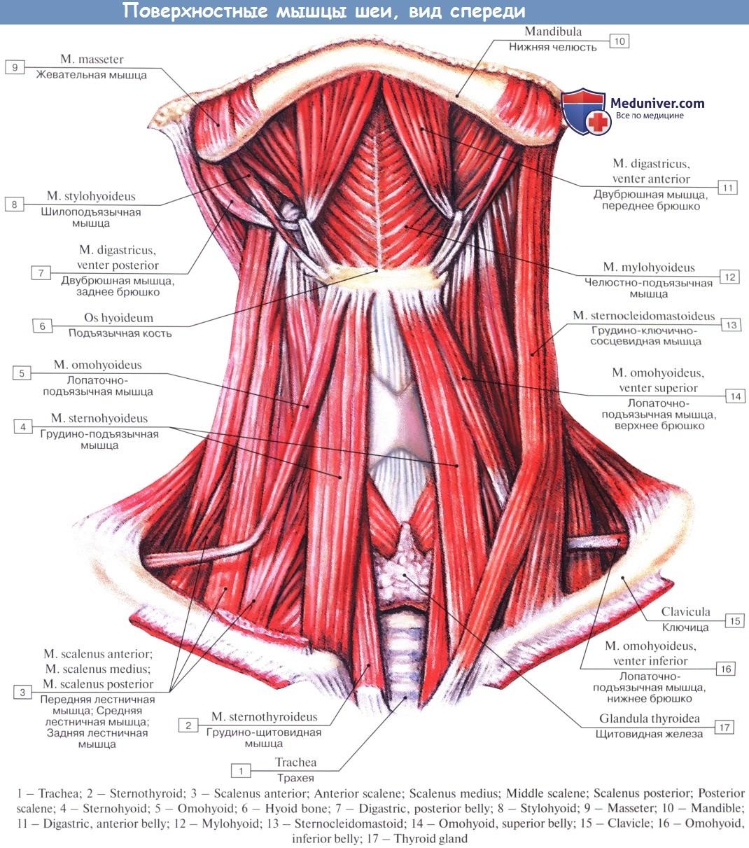 мышцы шеи фото с описанием и схемами картинки