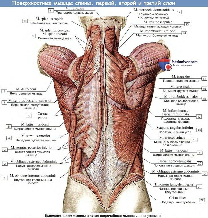 Анатомия: Поверхностные мышцы спины