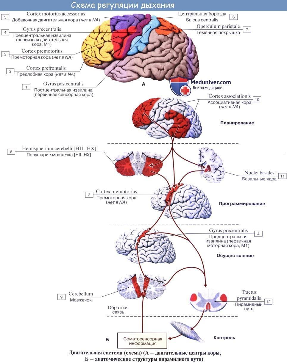 Регуляция дыхания. Регуляция вентиляторных реакций